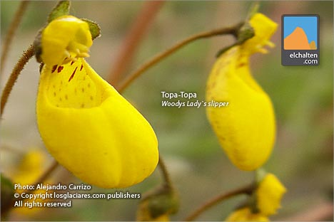 Woodys Lady's Slipper (Calceolaria biflora)